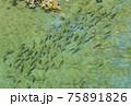 秋田県・稚魚の遡上 75891826