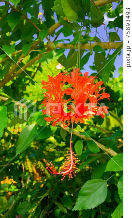 【トロピカル】珍しいフウリンブッソウゲと鮮やかな緑の葉 75893493
