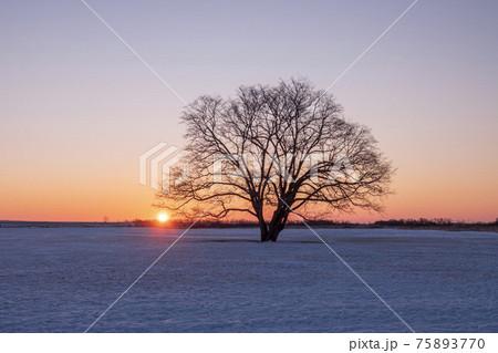 冬の豊頃町 ハルニレの木と日の出の風景 75893770