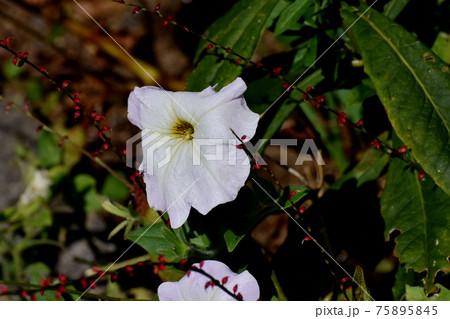 三鷹中原に咲く淡いピンクのペチュニアの花 75895845