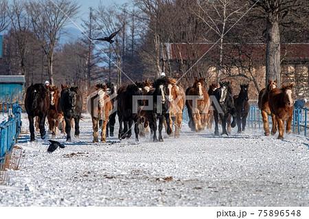 冬の北海道 音更町十勝牧場の馬追い運動 75896548