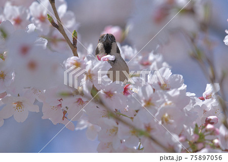 満開のソメイヨシノ桜に囲まれて前向きに生きる雀 75897056
