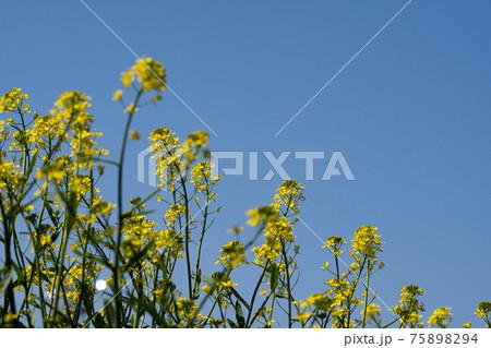 菜の花と快晴の空のコピースペース 75898294