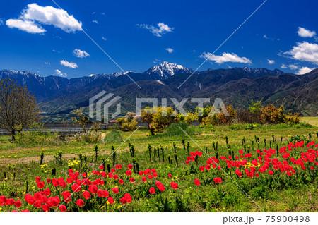 山梨県・小淵沢で眺める甲斐駒ヶ岳とチューリップの風景 75900498