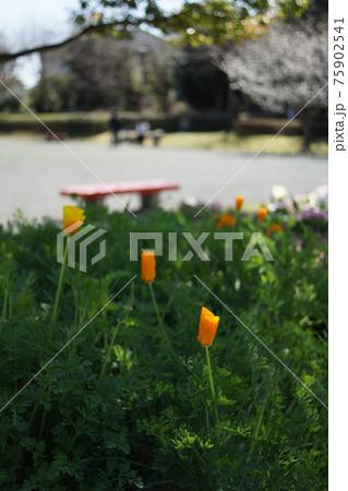 春の暖かな日差しの下、カラフルに咲くオレンジ色の草花 75902541