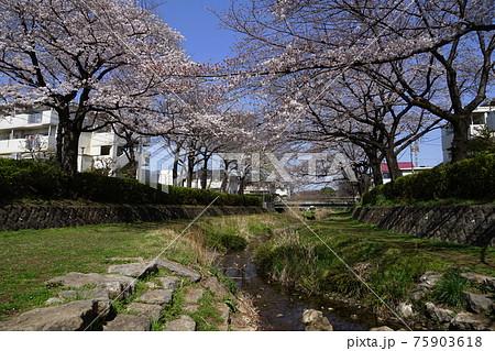 3月 小金井153野川の桜並木・前原野川橋近辺 75903618