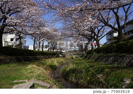3月 小金井152野川の桜並木・前原野川橋近辺 75903619