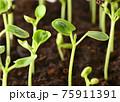 Growing seedlings 75911391