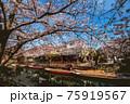 福岡県柳川市乗船場の桜 75919567