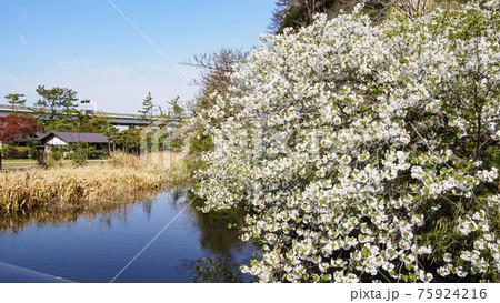 神奈川県横浜市の名勝地の三渓園の春 75924216