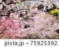 7分咲きのソメイヨシノ。桜は日本人にとって大切な花だと思います。 75925392