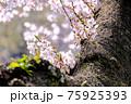桜は枝が長いイメージですが、このように幹の根元に咲く花もあります。 75925393
