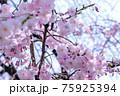 青空と満開の桜、本当にマッチして一番好きな構図の一つです。日本の誇りです。 75925394
