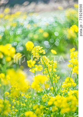 菜の花 75928090