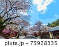 桜と青空 75928335
