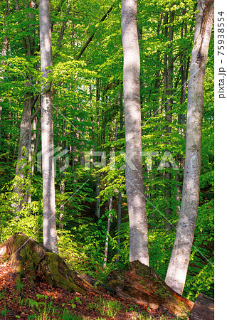 beech trees with fresh green foliage in sunlight. beautiful nature forest scenery in spring 75938554