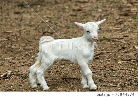 かわいい仔山羊 75944574