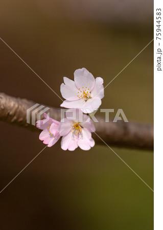早咲きの美しい薄桃色の桜の花びら 75944583