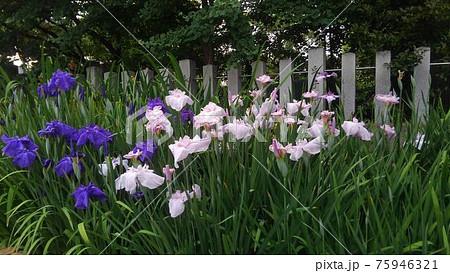 玉垣の手前に濃い青と白の花菖蒲が咲き、後ろに深緑色の木々が見える菖蒲池 75946321
