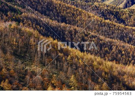 大菩薩連嶺・天狗棚山から見るカラマツの黄葉 75954563