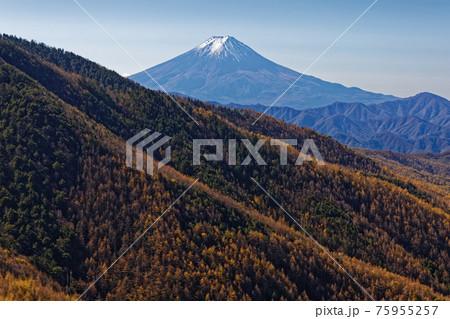 大菩薩連嶺・石丸峠から見るカラマツの黄葉と富士山 75955257