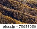 大菩薩連嶺・天狗棚山から見るカラマツの黄葉 75956060