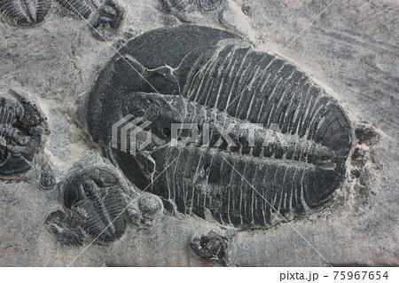三葉虫の化石 75967654