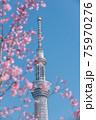 春の東京の風景 スカイツリーと桜 75970276