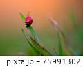 Ladybug is sitting on the grass 75991302