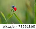Ladybug is sitting on the grass 75991305