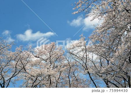 桜と雲 75994430
