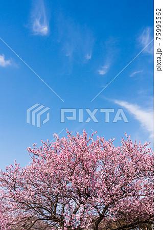 春 青空に映えるの満開の花桃 75995562