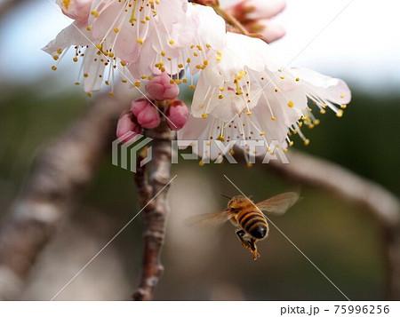 ミザクラの花と飛んでるミツバチ 75996256