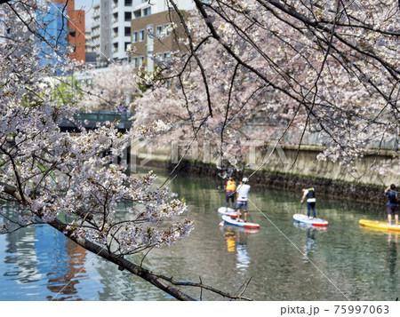 大横川の桜とスタンドアップパドルボードでの花見 75997063