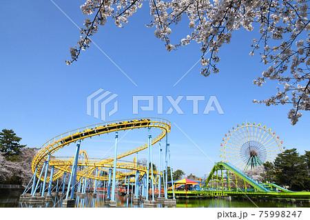 桜満開の華蔵寺公園 75998247
