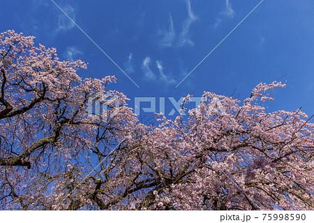 桜と空 75998590