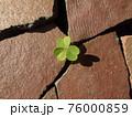 敷石(割れ陶器)の隙間から覗いた、ムラサキカタバミの葉 76000859
