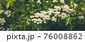 Natural Floral backdrop of blooming spiraea 76008862