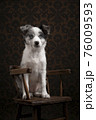 Young border collie puppy looking away sitting on a brown wooden chair on a classic background 76009593
