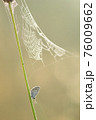 Silver-studded blue in the moring covered with dew with above it a large spiderweb 76009662