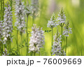 Group of blooming heath spotted-orchid flowers 76009669