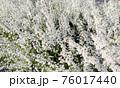 たくさんの白い花 76017440