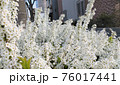たくさんの白い花 76017441