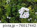 たくさんの白い花 76017442