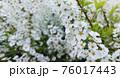 たくさんの白い花 76017443