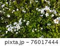 たくさんの白い花 76017444