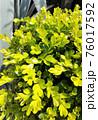 鮮やかな黄緑の植物 76017592