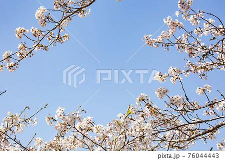 桜 76044443