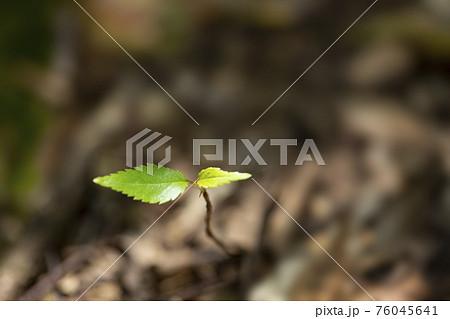 森の新芽 76045641