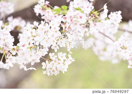 桜  76049297